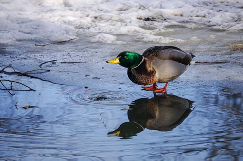 Water drops from a duck's beak