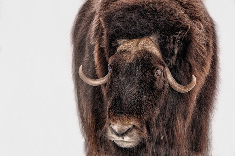 Bison eye reflection