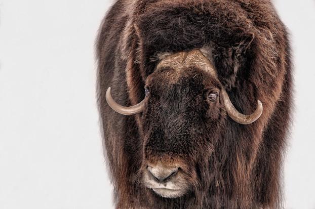 Bison eye reflection