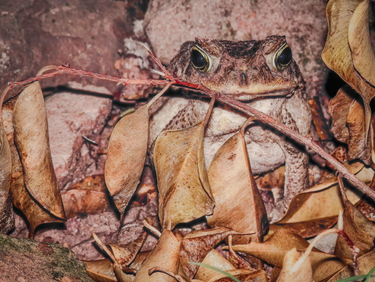 A fearsome toad