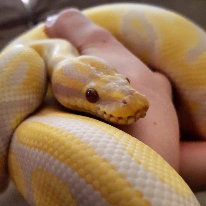 Lavender albino poss het pied