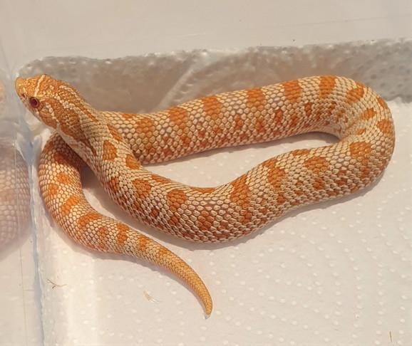 #1 0.1 Albino anaconda