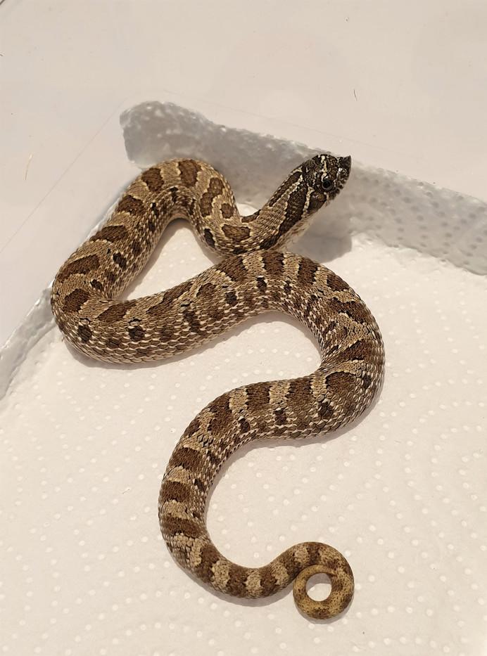 #6 1.0 Anaconda het albino