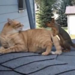 Un écureuil et un chat se retrouvent régulièrement pour s'amuser !