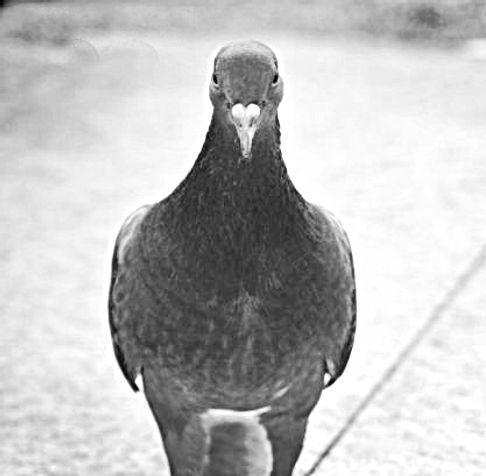Les nids de pigeons bouchent les chenaux et surtout abritent des invertébrés parasites qui peuvent s'introduire dans les maisons. Enfin, on estime que les pigeons facilitent la propagation de certaines maladies à virus.