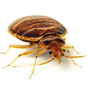 Les Punaises de Lit ou Bedbugs