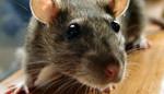 Niort : Infectée par ses rats, elle perd son lobe d'oreille