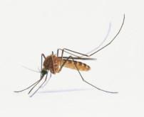 Faut il craindre une invasion du moustique tigre ?