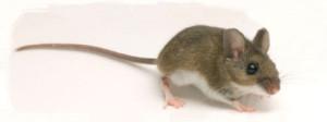 La souris entre dans les batiments durant la période hivernale