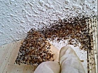 Infestation de milliers de punaises de lit derrière un coin de tapisserie