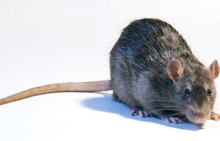 Les rats peuvent se révéler pleins de compassion et ne sont pas égoïstes !