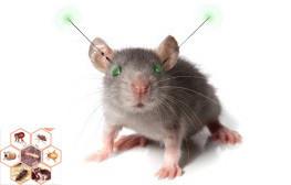 Des rats cyborgs créent la polémique
