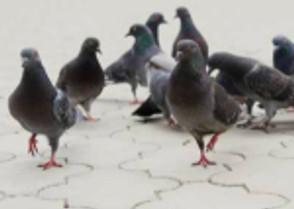 Pigeons : Quand leur fientes dégrade les bâtiments et sèment bataille autour du clocher.