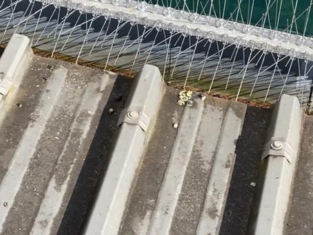 Picots anti pigeons pour la protection des bâtiments.