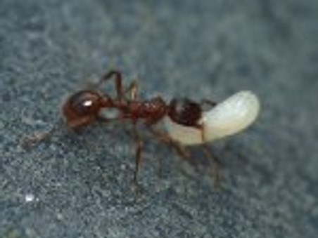 Des fourmis esclavagistes !