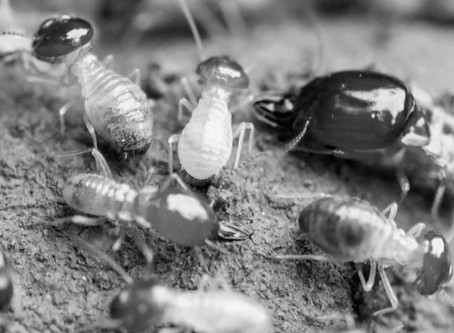 Quand les termites chantent