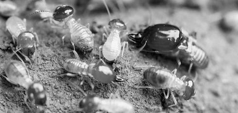 Termites-souterrains