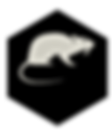 Rat ou surmulot sur la Réunion 974