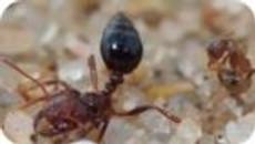 Les fourmis folles contre le venin des fourmis de feu : Stratégie de défense