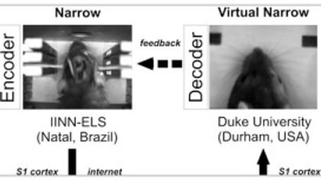Deux rats séparés par un continent mais reliés par le cerveau ont pu communiquer