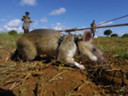 Des champs de mines nettoyer puis assaini par des rats entraînés dans le déminage
