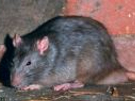 UK : Invasion de super rats mutants