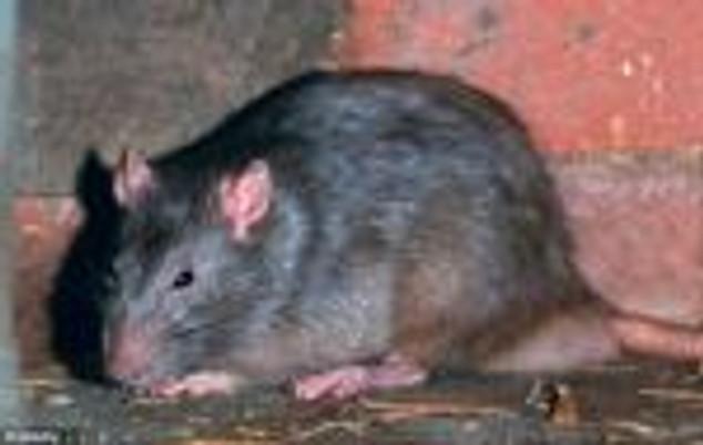 rats-mutants