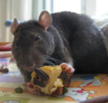 Les comportements associés aux jeux compulsifs chez les rats