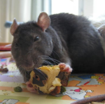 rat_de_laboratoire
