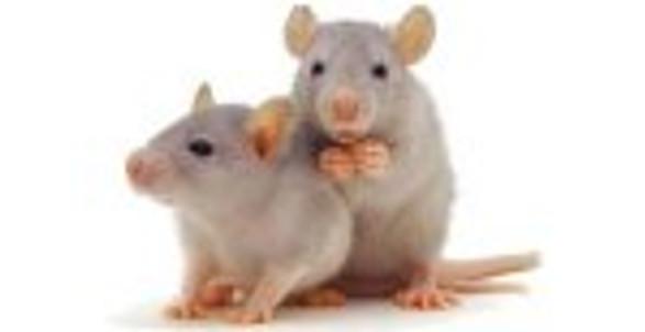 course_de_rats