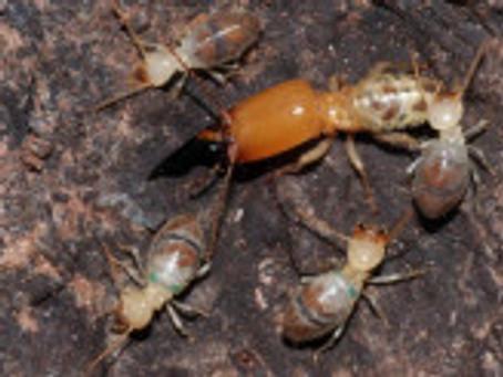 Les termites kamikazes