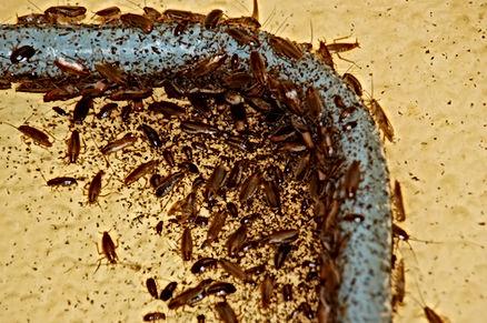 Importante infestation de blattes dans un appartement le long d'un tuyeau d'arrivée d'eau chaude. Les blattes affectionnent la chaleur comme les moteurs électriques de frigo, lave vaisselle, four à micro ondes, congélateur etc.