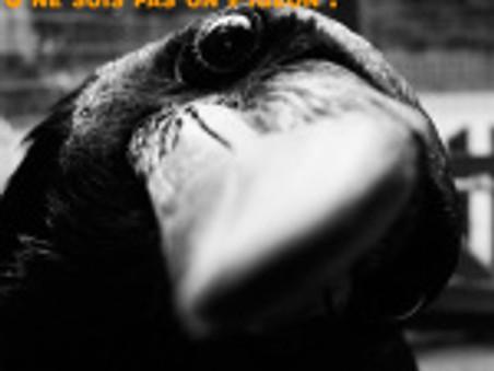 Des corbeaux voyageurs à la place des pigeons