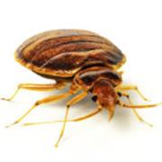 Punaises de lit : résistance aux insecticides