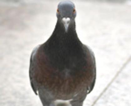 Conséquences sur le développement des pigeons ou autres volatiles
