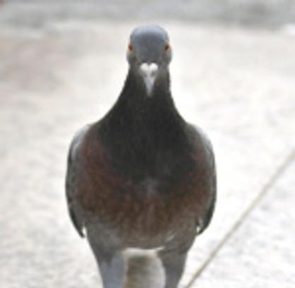 Pigeon de biset