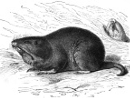 Rongeur : Le gaufre brun ou gaufre à poche
