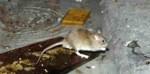 La guerre aux rats via NewYork