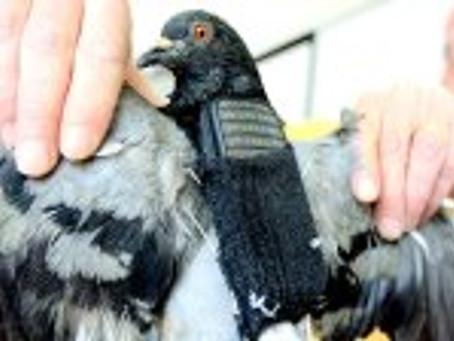 Livraison des colis : mieux que les drones, voici les pigeons voyageurs.