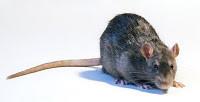 Le rat souille la nourriture et d'autres matériels pouvant véhiculer des maladies
