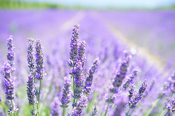 Cultivo e Aromaterapia das Lavandas