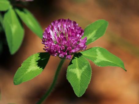 Confusões botânicas | Trevo vermelho