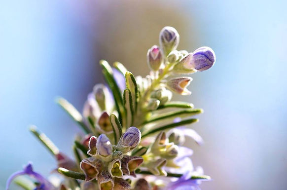 Cultivo e Aromaterapia das Ervas do Mediterrâneo