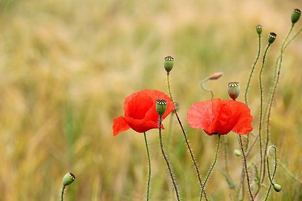 poppy-3226632_960_720.jpg