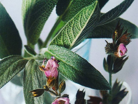 Cultivando a sálvia (Salvia officinalis)