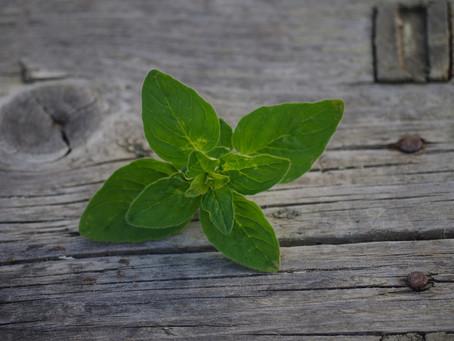 Como cultivar orégano!