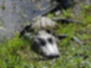 Alligators in Brazos Bend State Park Hou