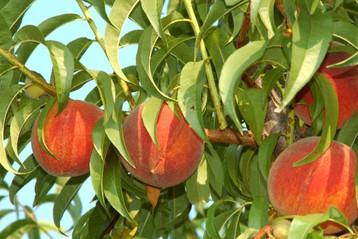 Freestone peaches are a must have ...