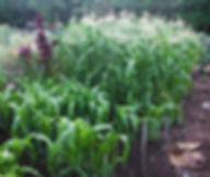 Fertilize corn when it gets knee high.JP