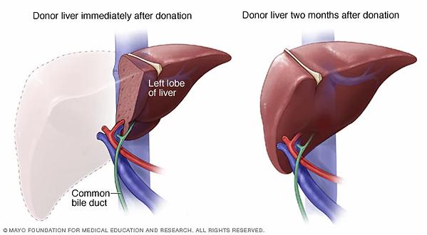 living-liver-donor-regeneration-6col.web